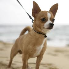 Chihuahua Chi All Dogs Welcome